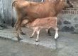 Krowy krowa mleczna z cielakiem (dżersejka