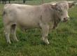 Byki rozpłodowe sprzedam byka rozpłodowego rasy