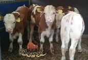 cielęta mięsne cieliczki byczki jałóweczki simental 2