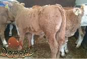 jałóweczki byczki mięsne krzyżówki cielaki cielęta 1