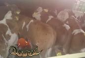 jałóweczki byczki mięsne krzyżówki cielaki cielęta 2