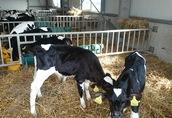 Cielaki i opasy Sprzedam cielęta byczki waga od 70 do 120 kg cena...