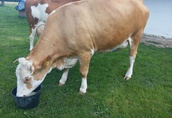 krowa mleczna simental