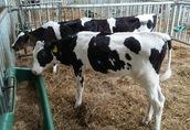 Cielaki i opasy Sprzedam byczki opasy waga 75 do 120 kg cena od...