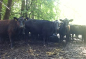 BIO Angus - Jałówki do hodowli