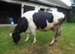Krowy Krowa mleczna HO, sześcioletnia