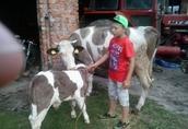 Sprzedam krowę z cielęciem