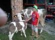 Krowy Witam. Sprzedam krowę z cielęciem