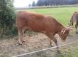 Pozostałe zwierzęta hodowlane sprzedam 4 jałówki rasy Limousine
