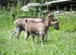 Kozy Sprzedam koźlęta 3- miesięczne