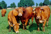 Skup bydła ubojnia Chobot Meat