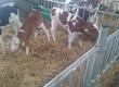 Cielaki i opasy Sprzedam byczki sientala krzy