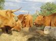 Cielaki i opasy Sprzedam bydło rasy Highland Cattle
