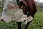 hereford, rasowy byk