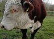Byki rozpłodowe wspaniały hereford, łagodny i skuteczny