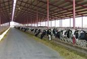 Bezpośrednio niemieckie bardzo dobre krowy