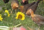 Kury zielononóżki 8tyg pomoc w sprzedaży jaj! dowóz! ROSA KARMAZYNY