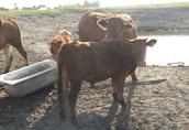 sprzedam 3 byczki mięsne do dalszego howu