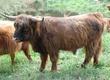 Byki rozpłodowe Do sprzedania ponad 2 letni byk
