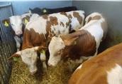 Cielęta cielaki byczki do chowu 2