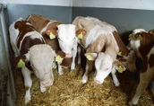 Cielęta cielaki byczki do chowu 3