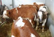 Cielęta cielaki byczki do chowu 4