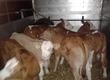 Cielaki i opasy Cielęta byczki, cieliczki W