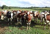 Krowy pierwiastki
