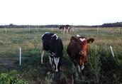 Krowy pierwiastki 1