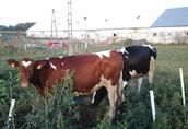 Krowy pierwiastki 3