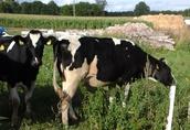 Krowy pierwiastki 6