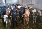 Byczki mięsne, krzyżówki ras mięsnych
