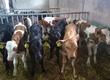 Cielaki i opasy Posiadamy w sprzedaży byczki ras