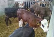 Byczki mięsne,  krzyżówki ras mięsnych  1