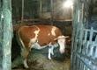 Krowy Sprzedam spokojną krowę simentala