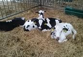 Cielaki i opasy Sprzedam byczki opasy od 2 m-c do 4 m-c cena od...