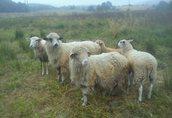 sprzedam 5 owiec i 1 baranka z tego roku czyli 6 sztuk za 1400