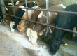 Cielaki i opasy Sprzedam byczki mięsne i miesza