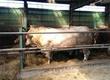 Byki na ubój W ciągłej sprzedaży bydło rzeźne