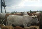 jałówki mięsne do hodowli lub na opas