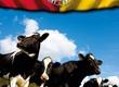 Krowy Niemiecka firma specjalizująca