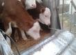 Pozostałe zwierzęta hodowlane Witam! Posiadamy w sprzedaży Polskie