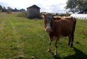 Sprzedam krowy