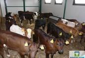Okazja cielęta Byczki jałóweczki MM NCB HF 3