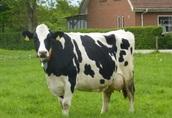 Wyjazd po krowy na selekcję do Danii, Niemiec, Holandii