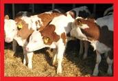 KUPIĘ Byczki Cielaki Mieszance - Odbiór od Rolnika