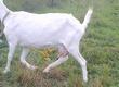 Kozy sprzedam trzy kozy saaneńskie
