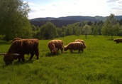 Bydło Highland Cattle