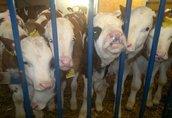 Cielaki i opasy Firma Eko-Import oferuje cielęta mięsne TYLKO simentale...