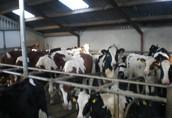 Jałowki Byczki Pierwiaski krowy 1